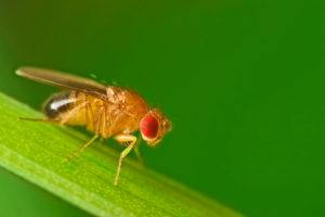 Fruit fly sitting on a blade of grass with green foliage background.