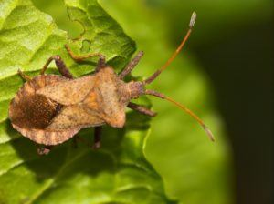 A squash bug on green leaf.