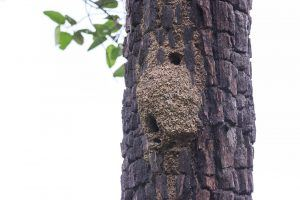 Termite nest on the tree.