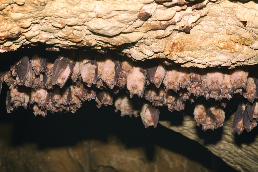 Groups of sleeping bats in cave.