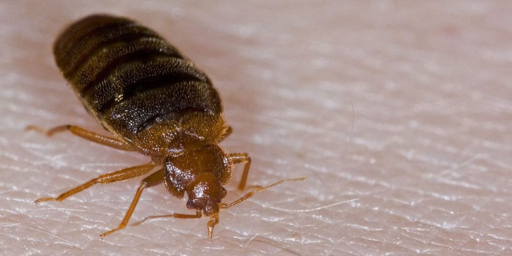 Close up of bed bug on human's skin.