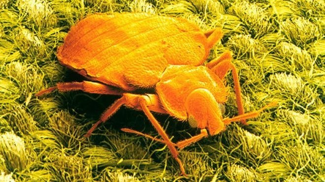 Close up of a bed bug.