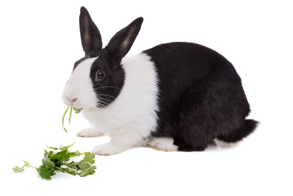 Dutch dwarf rabbit is eating cilantro, isolated on white background.