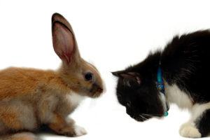 Brown rabbit vs. black-white cat on white background.