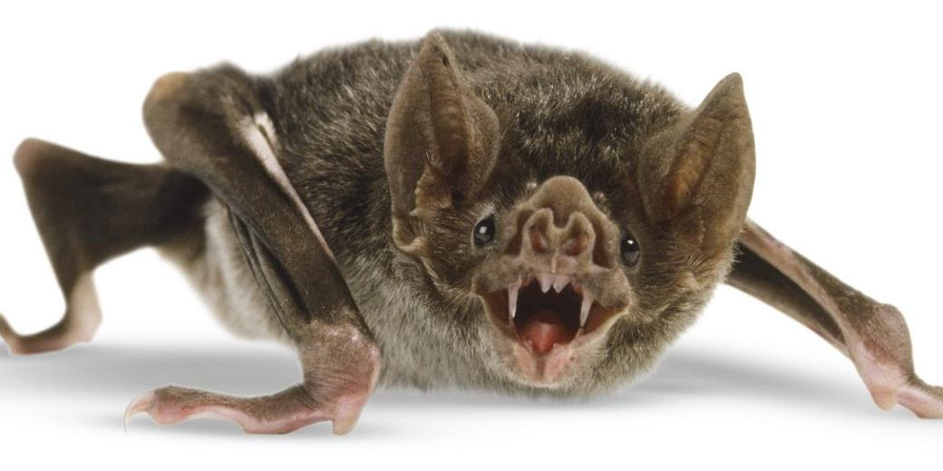 Vampire bat isolated on the white.