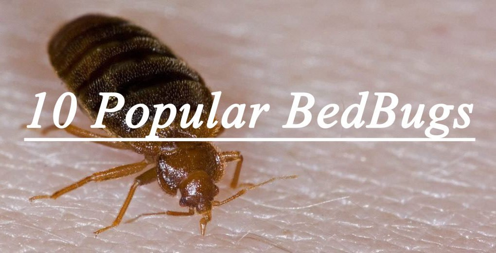 10 popular bedbug q as what does it look like pestwiki