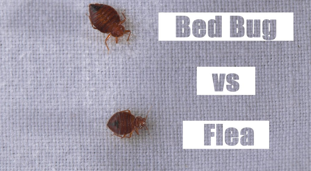 how to get rid of fleas in bedding and carpet