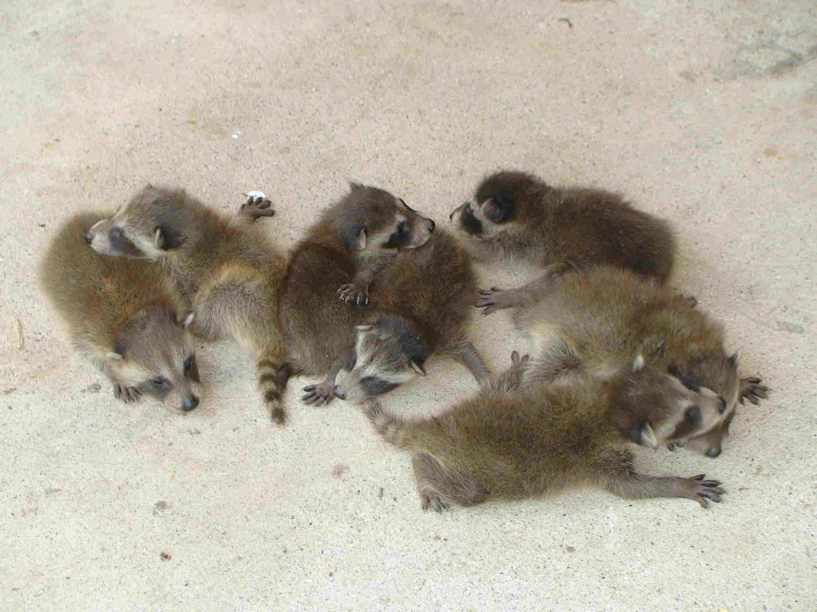 Several baby raccoons on the ground.
