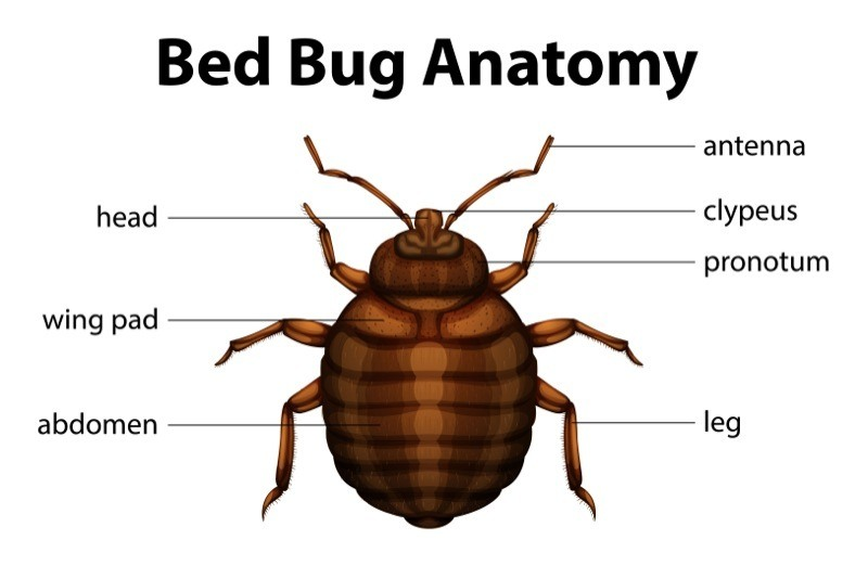 Illustration of the bed bug anatomy.