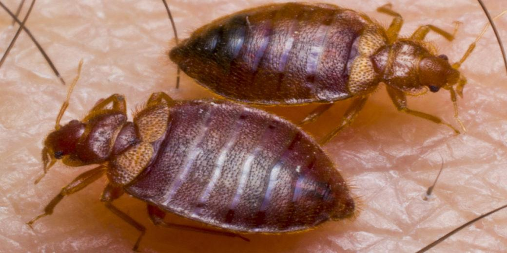 Close up of two bed bugs.