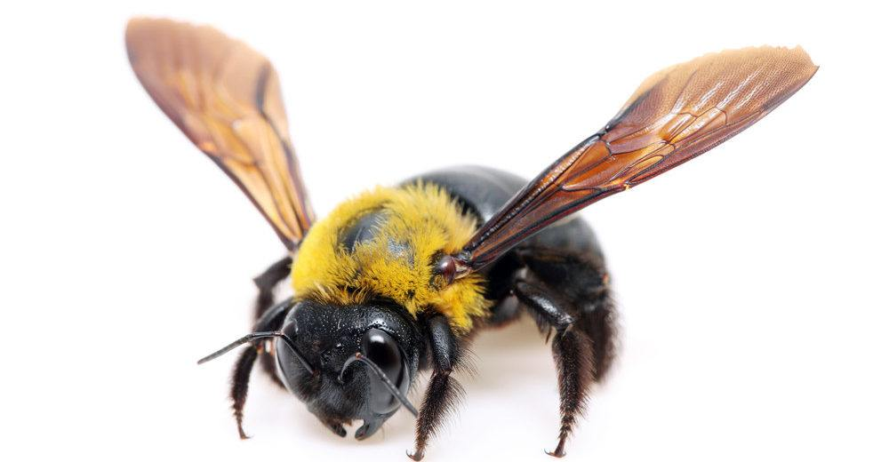 Carpenter bee isolated on whitebackground.