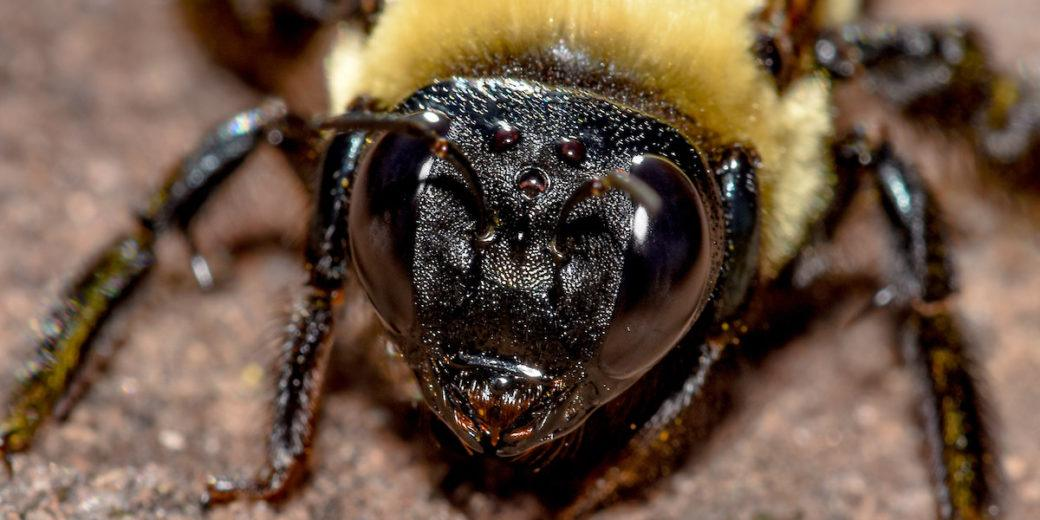 Close up of carpenter bee's head.