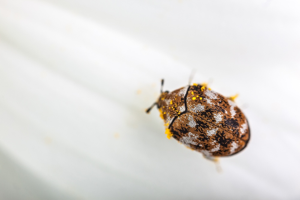 Macro shot of a varied carpet beetle on a white daisy.