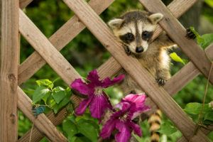 Baby Raccoon climbing in the garden.