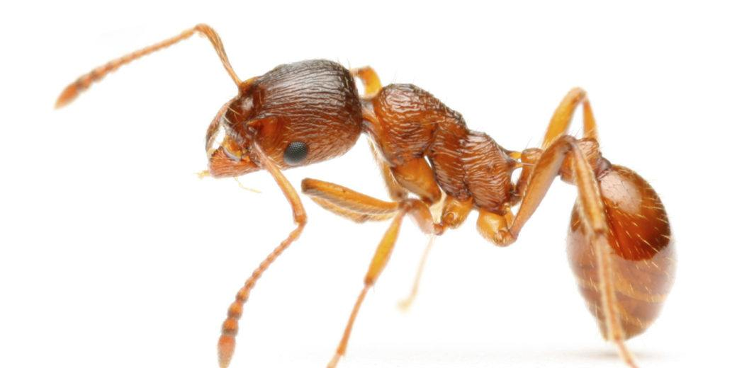 Close-up of fire ant on the white.