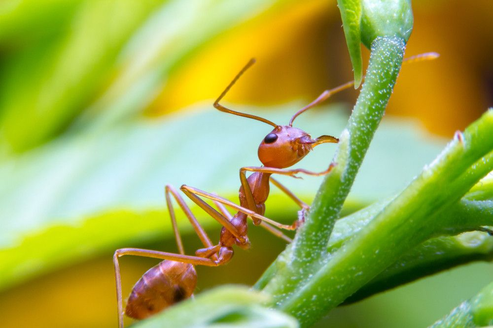 Ant Prevention Home Remedies