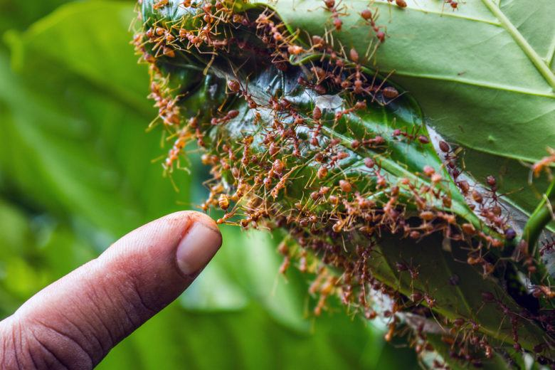 A group of fire ants on green leaves and a finger around.