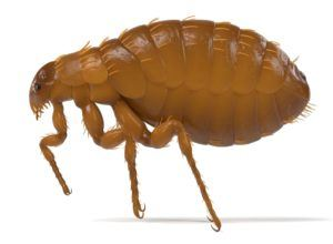 Bed Bug Vs Flea The Differences Plus Bed Bug Vs Carpet