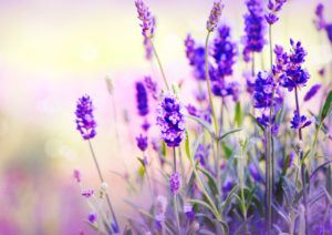 Lavender in sunshine.