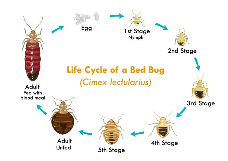 Life Cycle of the Bed Bug vector on the white.