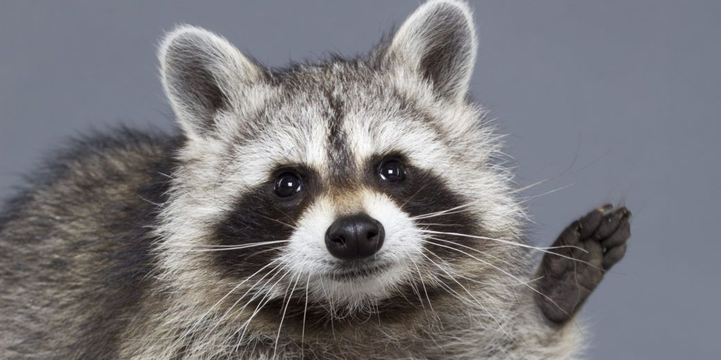 Cute raccoon on grey background.