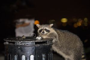 Raccoon is looking for food in garbage at night.