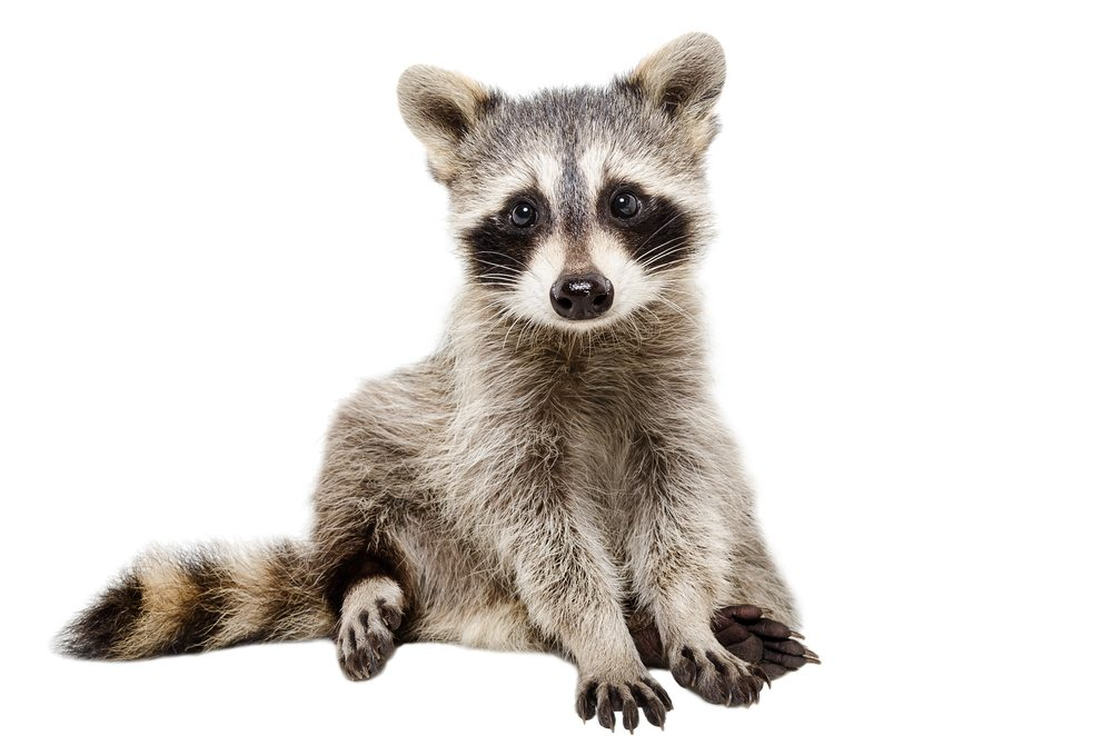 Isolated raccoon on white background.