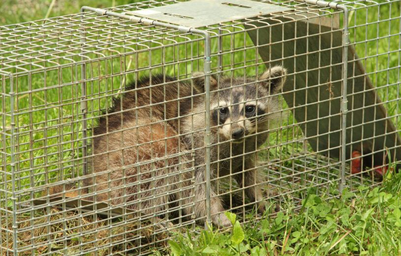 Raccoon in the trap on grass.
