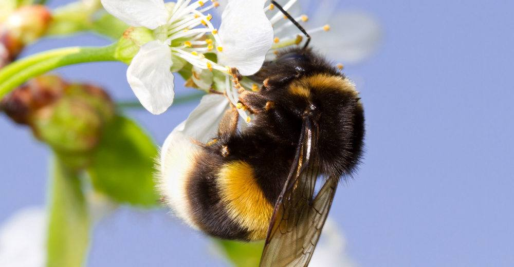 How Get Rid Bumble Bees Easily Methods Plus