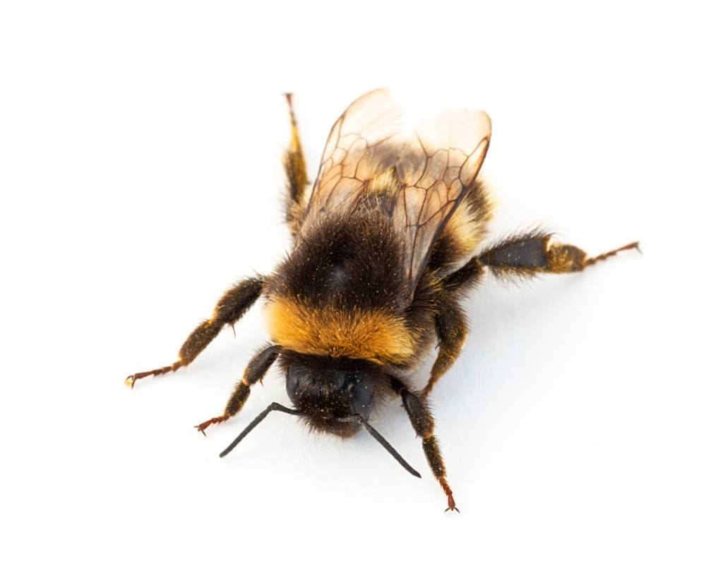 A bumblebee against a white background.
