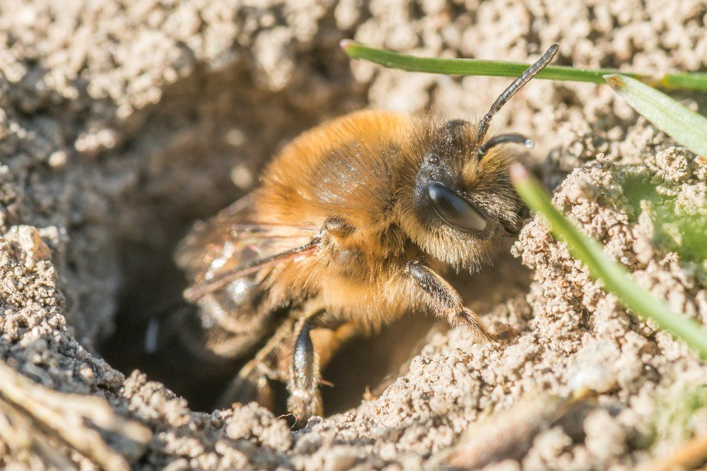 Single female mining bee in her hole on the ground.