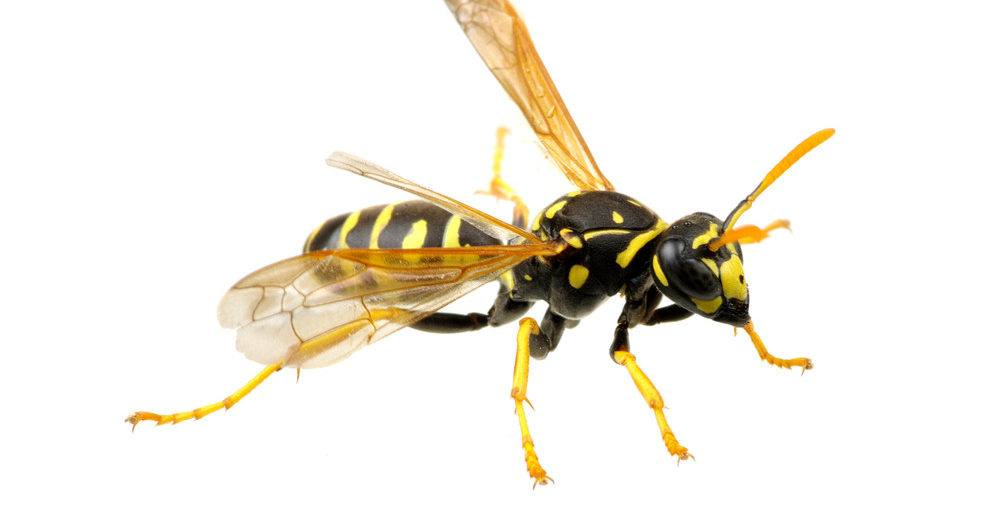 Bees Vs Wasps Vs Hornets Vs Yellow Jackets Whats The Difference
