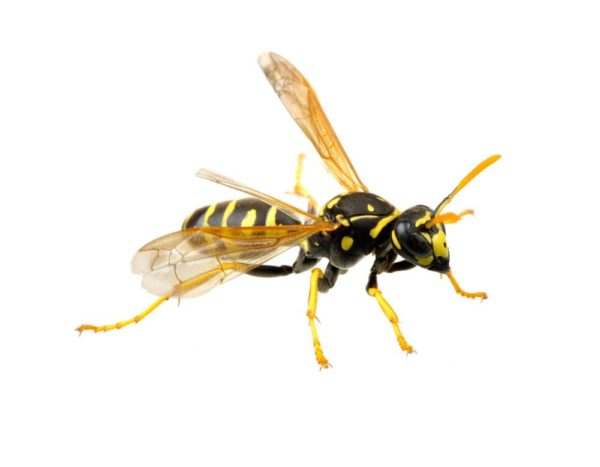 Wasp isolated on white background.