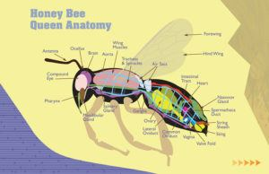 anatomy of honey bee