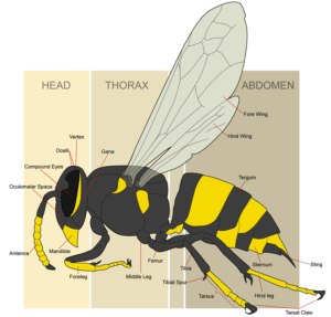 anatomy of yellow jacket bee