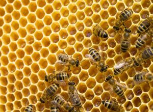 Many bees on a honeycomb.