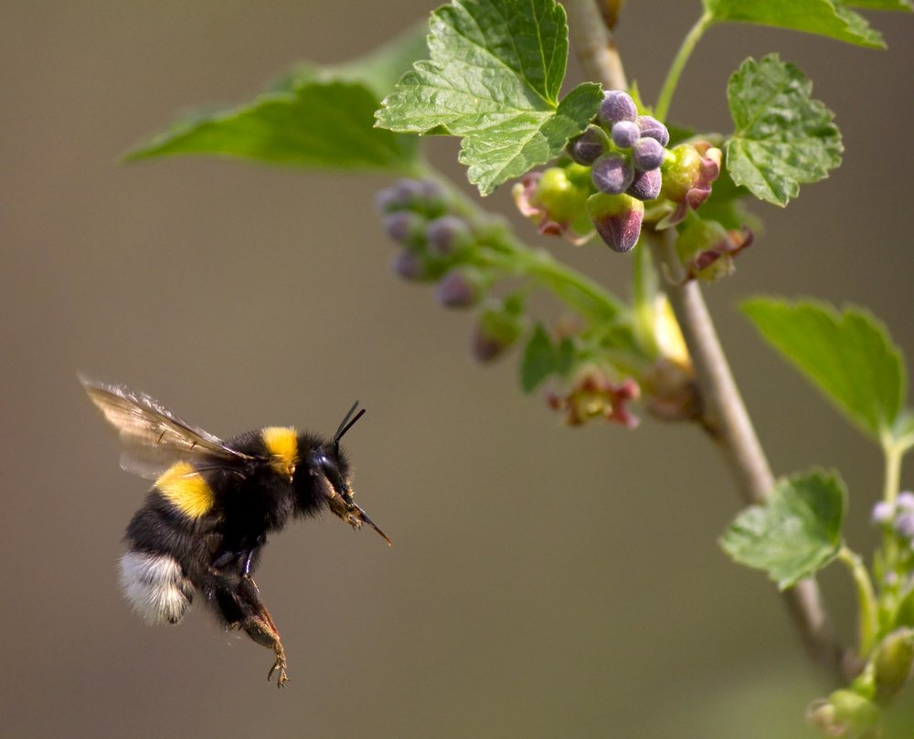 A bumble bee flying to flower.