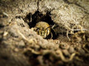 a ground bee in a dry hole