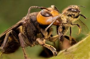 a hornet is trying to kill an European honeybee