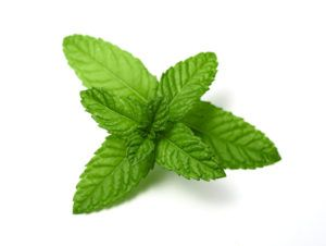 Peppermint leaves on white background.