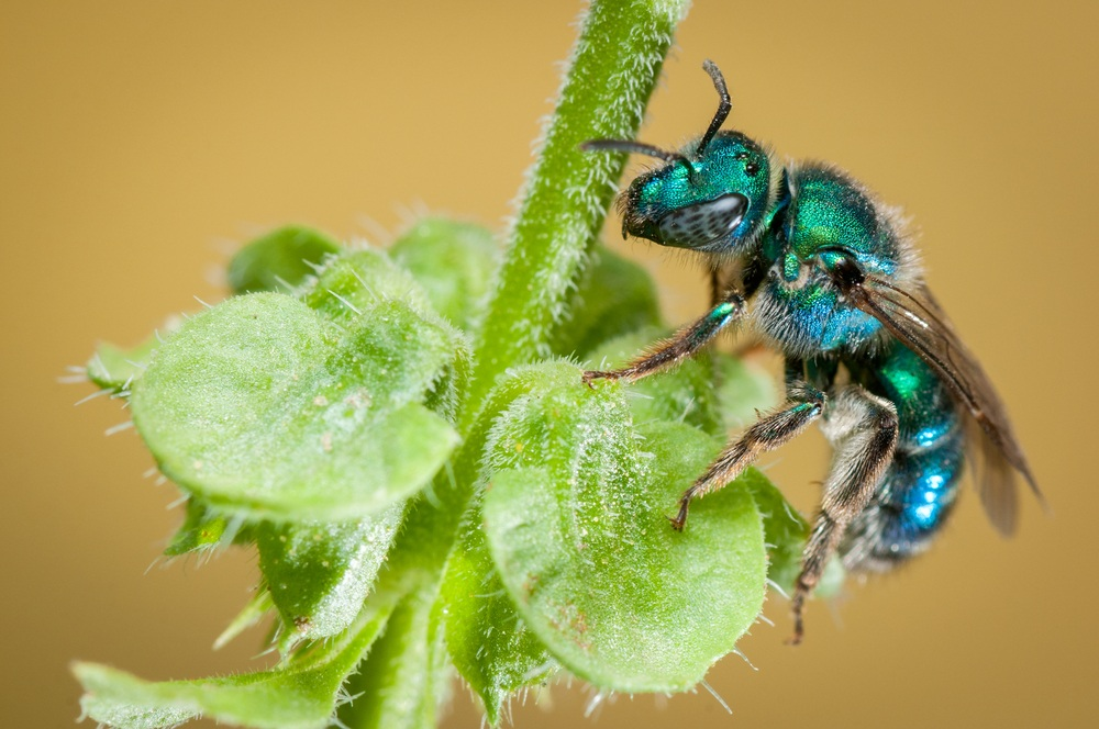 A sweat bee on the green plant.