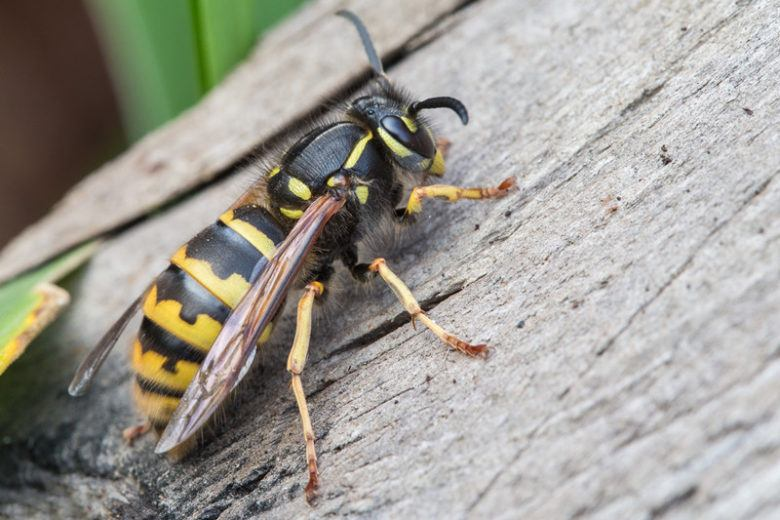 a wasp parking on a piece of wood