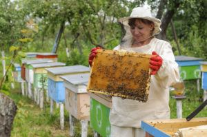 A woman beekeeper looks after bees in the hive.