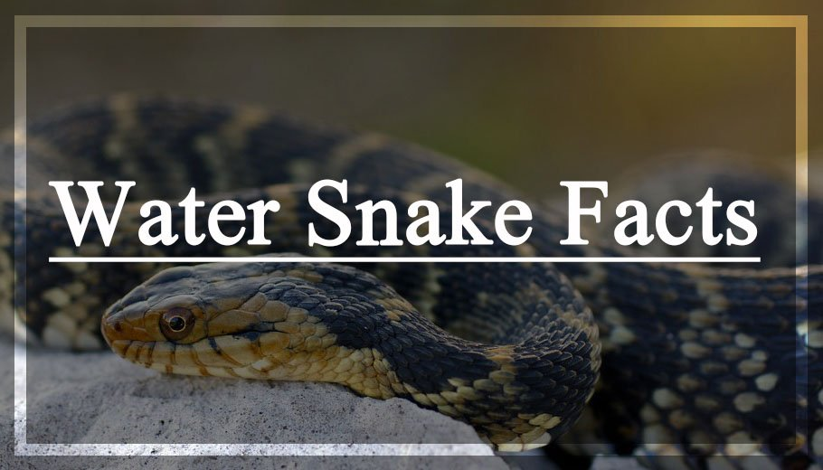Water Snake Facts