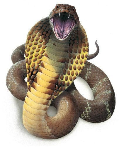 Cobra snake with wide opened mouth on white background