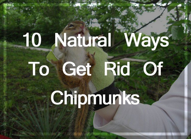 Get Rid of Chipmunks