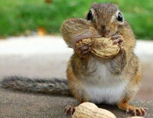 Chipmunk is eating peanuts.