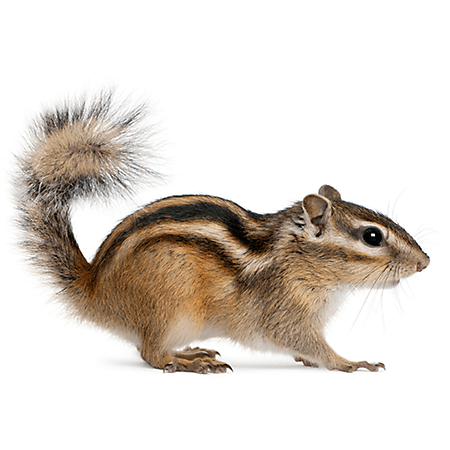 A chipmunk on white background.