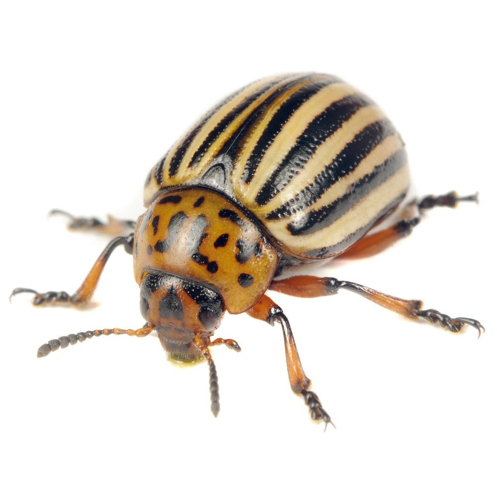 Colorado potato beetle on the white.