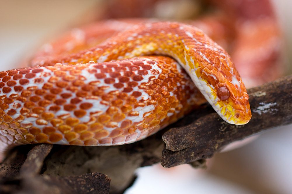 Corn snake on white ground.